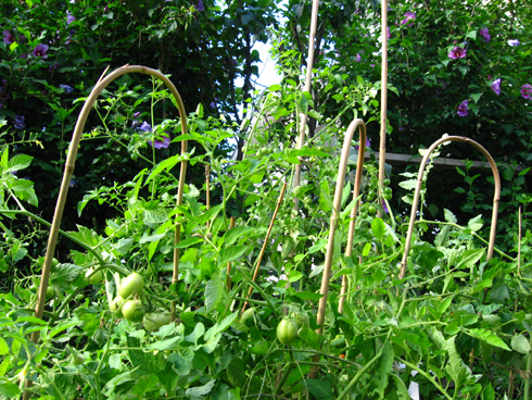 August Tomato Plants